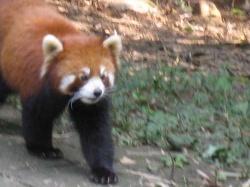 A Red Panda